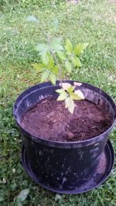 Omplanterad tomatplanta